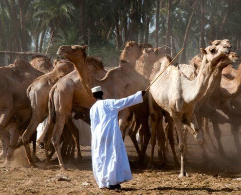 Camel traders at the Darau Camel Market in Aswan
