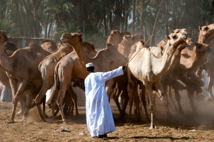 Camel traders at the Daraw Camel Market in Aswan