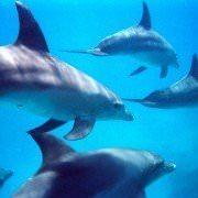 Hurghada Diving - Bottlenose Dolphins Swimming, Hurghada, Egypt