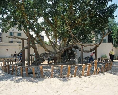 Virgin Mary Tree, Cairo