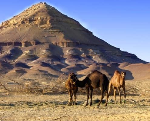 Camels in Bahariya Oasis