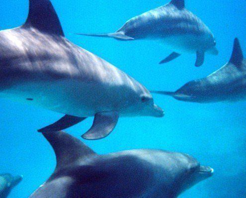 Bottlenose dolphins, Hurghada, Egypt