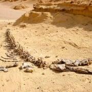 Dorudon Atrox Whale, Wadi Al Hitan