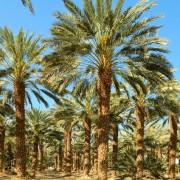 Date palms in Fayoum Oasis, Sahara