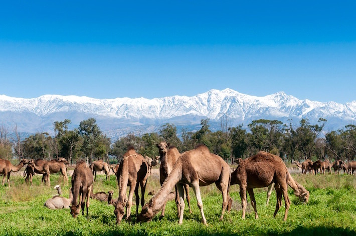 Morocco Tourist Attractions - Group of camels grazing on fresh pasture between the Atlas mountains and Sahara Desert in Morocco