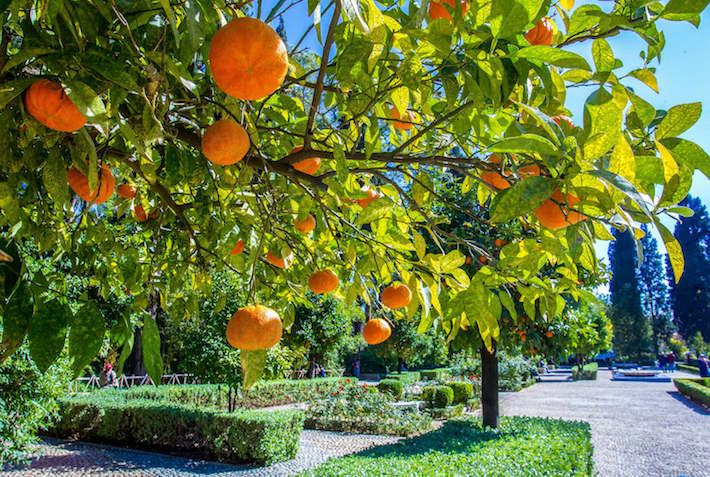 Tangers (mandarins) on branch. Cyber park. Marrakech