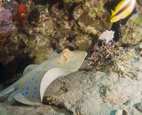Bluespotted stingray (taeniura lymma) swimming close to a tropical coral reef. Naama Bay, Sharm El Sheikh, Red Sea, Egypt