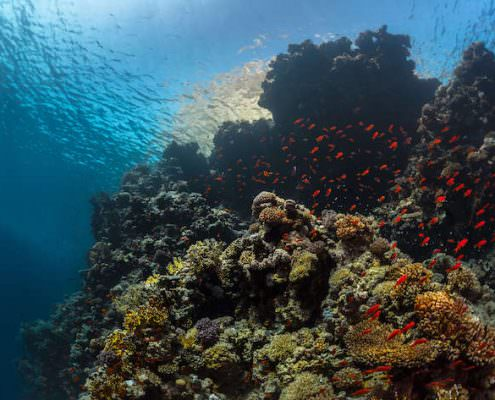 Coral reefs with tiny fish in the Ras Muhammad National Park