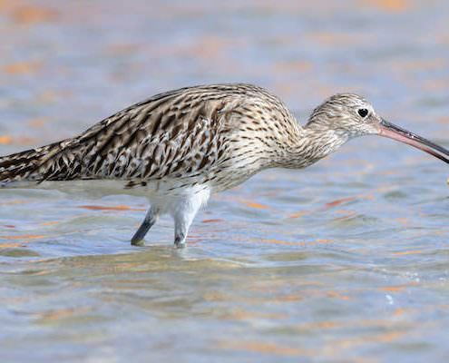 Eurasian Curlew (Numenius arquata) caught a crab at Red Sea beach in Nabq National Park