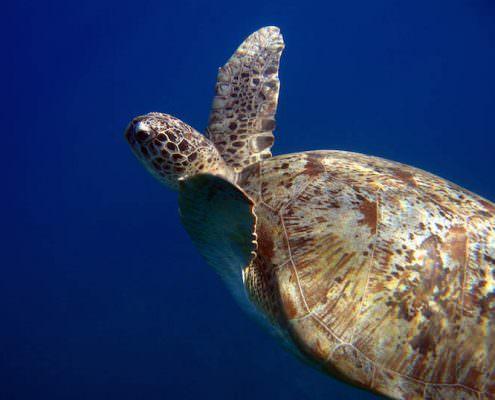 Green Turtle, Naama Bay, Sharm El Sheikh, Egypt