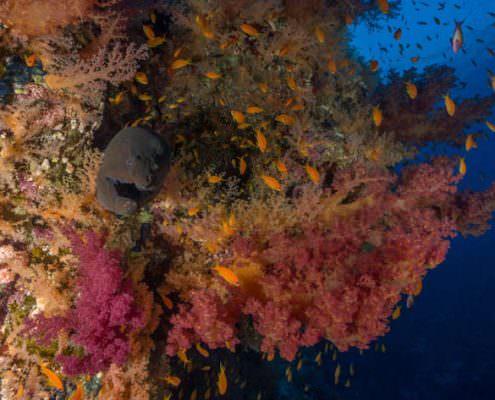 Maray eel among soft corals. Ras Muhammad National Park, Red Sea - Sinai Penninsula