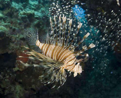 Common lionfish (Pterois miles). Naama Bay, Sharm el Sheikh, Red Sea, Egypt