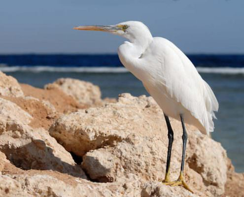 White Western Reef Egret (Egretta gularis) at Nabq National Park